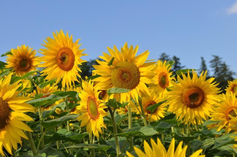 ghid tratament floarea soarelui