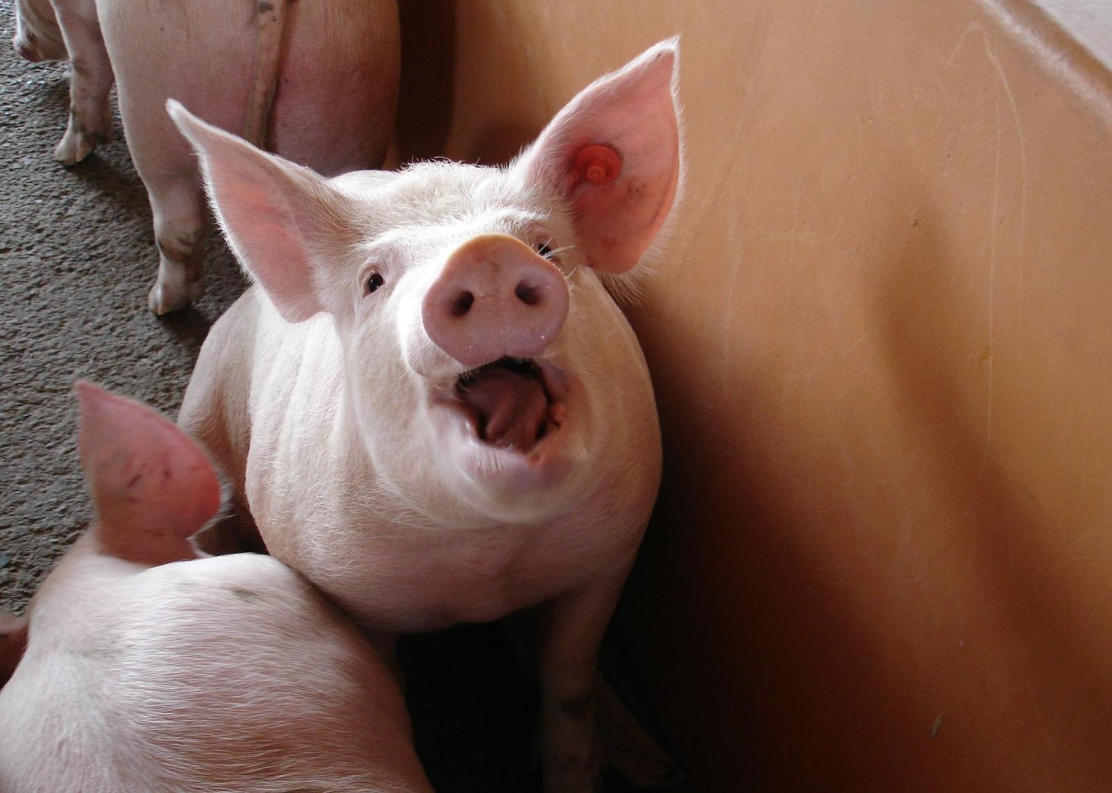 Peste 5.000 de ferme de porci înregistrate anul acesta in Bulgaria; nu aveau mai mult de 700 de ferme de suine inainte de PPA;stiri agricole