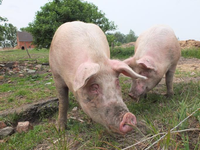 Corpul de control al premierului a stabilit ca ANSVSA nu a respectat Programul national de prevenire a pestei porcine; stiri agricole