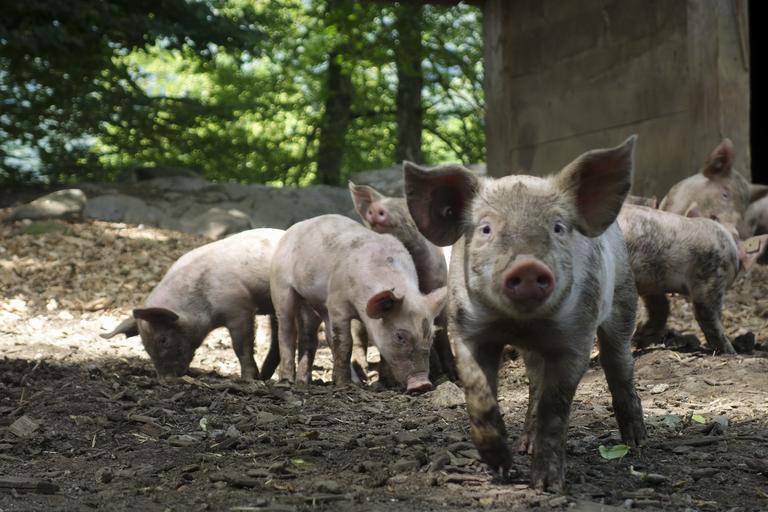 Actualizarea situației privind evoluția Pestei Porcine Africane; sunt active un număr de 345 de focare de PPA; Stiri agricole