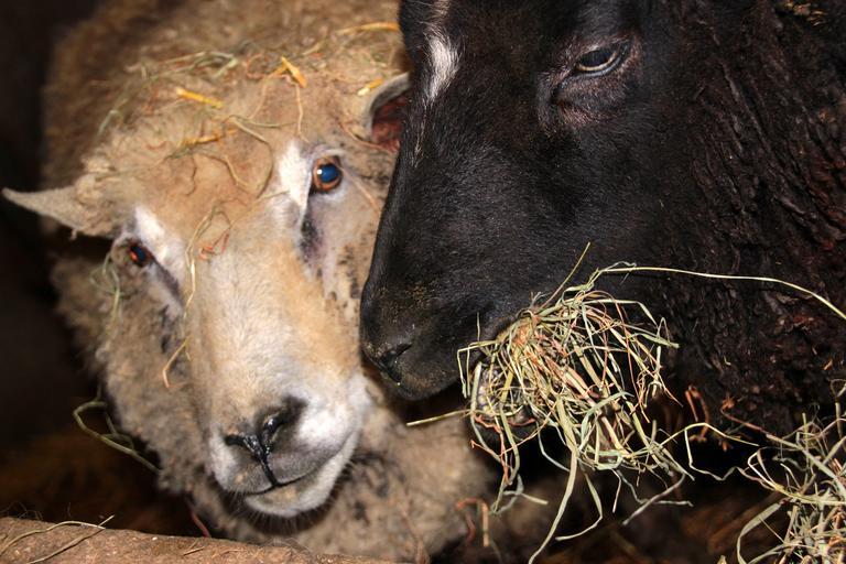 180 de oi salvate de pe nava scufundată în portul Midia, stiri agricole