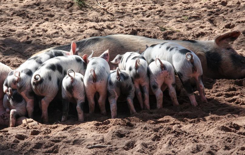 Vaccin împotriva pestei porcine africane; vaccinul ar fi crucial pentru prevenirea uneia dintre cele mai necrutatoare boli in randul porcilor;stiri agricole