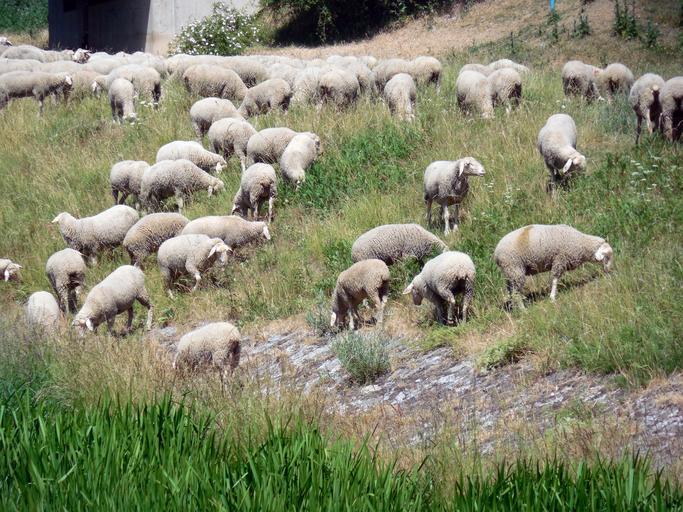 S-a aprobat valoarea subvenției pe cap de ovină/caprină. Cuantumul estimat este de 16,55 euro cap ovină/caprină. Stiri agricole