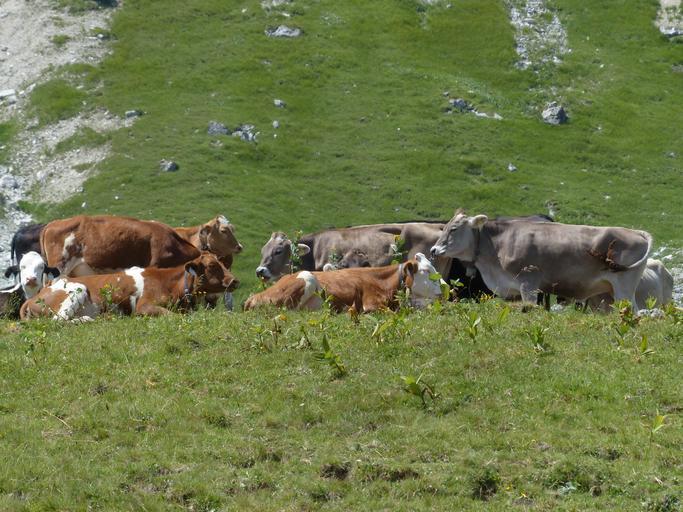 Probleme de infertilitate la vacile de lapte; o serie de aspecte practice legate de probleme de infertilitate la vacile de lapte, cauze si sugestii, ibna balotesti, zootehnie, furaje, subventii apia