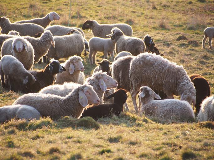 Ajutor pentru ovine 2020: condiții pentru plățile între 500 și 2.500 de euro/fermă; Condiţii de eligibilitate sectorul ovine-caprine; stiri agricole