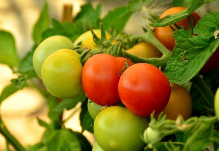 15 mai data limita de inscriere in Programul Tomata! Pentru a fi eligibili solicitanții trebuie să îndeplinească următoarele conditii; stiri agricole