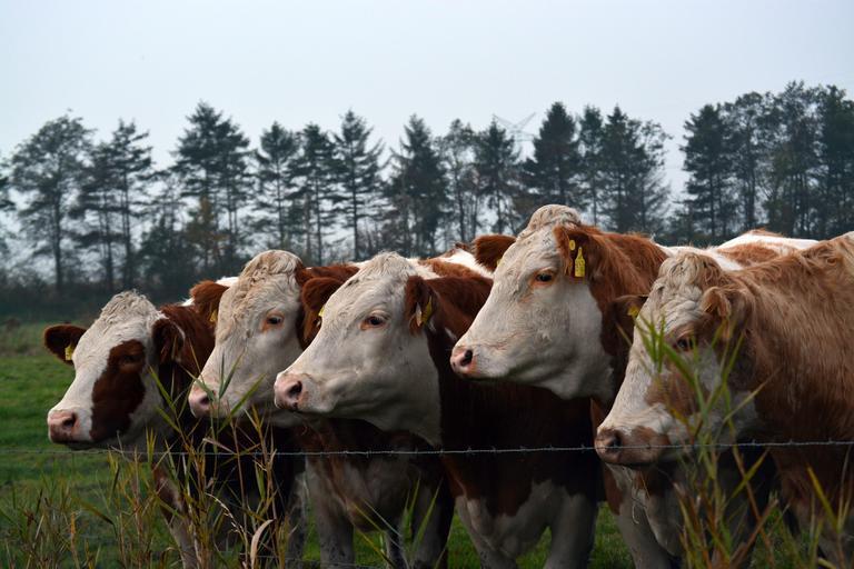 Conditii APIA pentru Sprijinul Cuplat Zootehnic; Conditii ce trebuie indeplinite pentru a beneficia de SCZ pentru cresterea taurinelor din rase de carne, stiri agricole, subventii apia