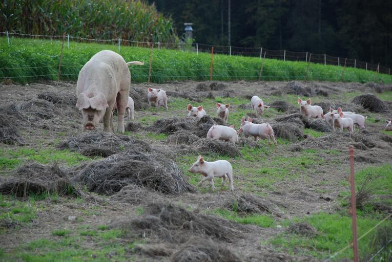 ANSVSA NU interzice creșterea porcilor în gospodărie. ANSVSA NU interzice și NU limitează creșterea porcinelor în gospodăriile populației. Stiri agricole