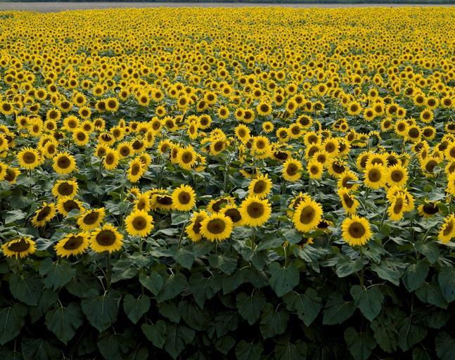 Tehnologia de cultură a florii soarelui; sistematica, Particularităţi biologice; Relaţiile plantă-factori de vegetaţie; boli si daunatori, stiri agricole