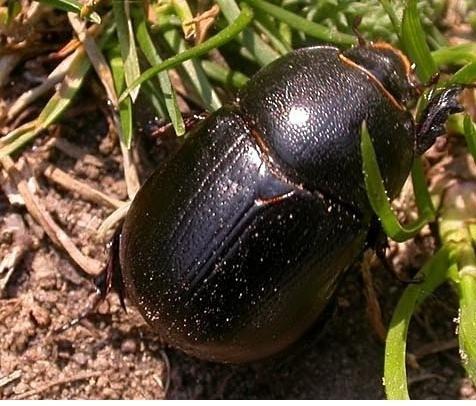 Gândacul negru al porumbului