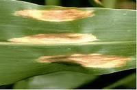 Patarea si uscarea frunzelor de porumb
