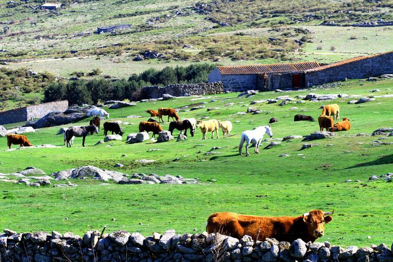 Cifrele exportului de bovine si ovine; România a crescut, în primul trimestru 2020, la exportul de ovine cu 2.3%; stiri agricole