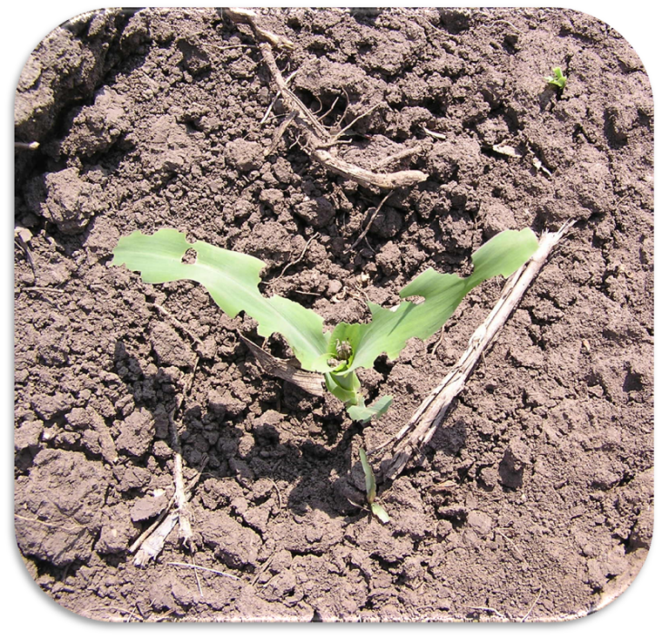 Planta atacata de gargarita frunzelor de porumb