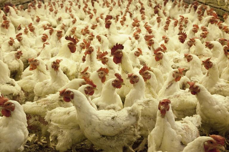 Am ajuns să importăm carne de pasăre din Chile; nu suntem de acord cu importurile de carne pasăre din Chile sau din altă țară terță; stiri agricole
