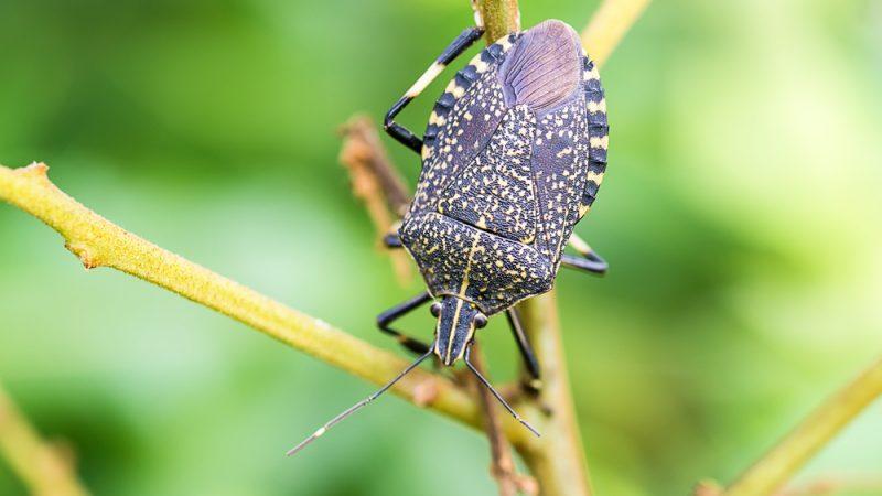 Viespea-samurai in lupta cu pagube de peste jumătate de miliard de euro; gândacul puturos marmorat maron; control biologic; stiri agricole