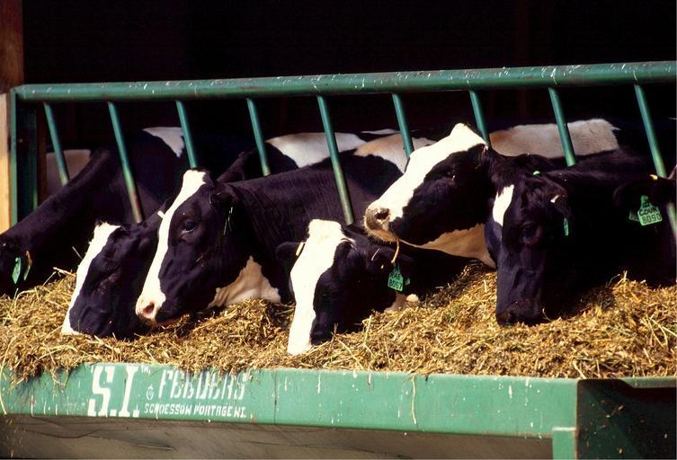 Conținutul de proteine în rațiile de hrană a scăzut; încurajăm fermierii să discute opțiunile de hrana cu furnizorii de furaje; stiri agricole