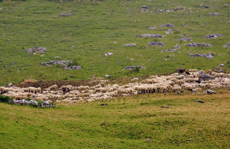 Adeverință obligatorie pentru a beneficia de Sprijinul Cuplat Zootehnic; ciobanii au termen până la 1 septembrie să completeze dosarult; stiri agricole