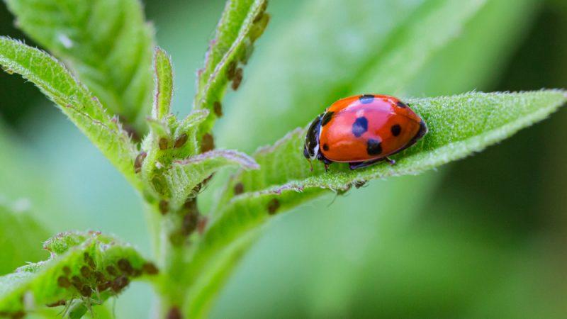 Combaterea dăunătorilor prin jocul naturii; Pesticidele biologice o alternativă ecologică, durabilă și viabilă a pesticidelor chimice; stiri agricole