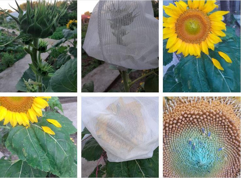 Floarea soarelui și o mică parte din munca de cercetare; Se face toaleta: se rup frunzele; Forma mamă se castreaza de la ora 6 la 7-8 am; stiri agricole