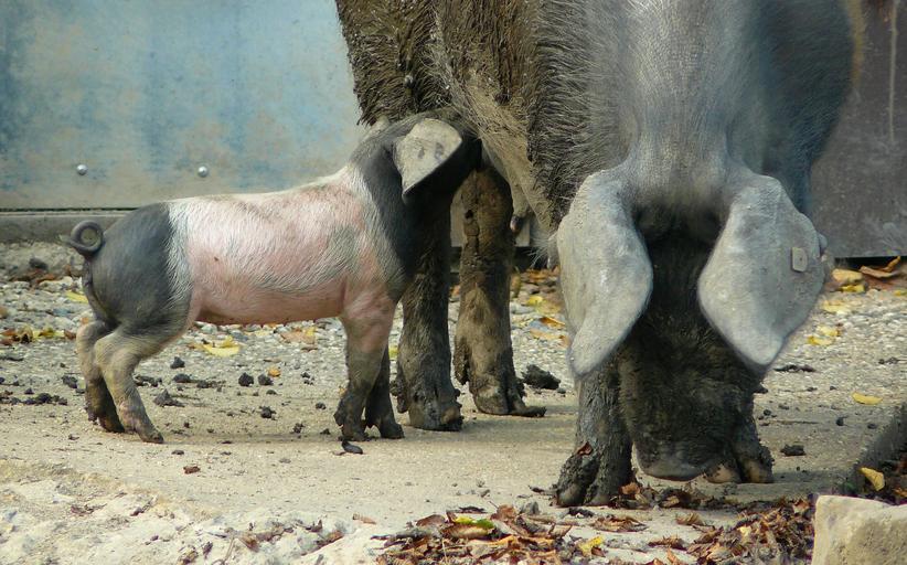 Schemă de susținere pentru crescătorii de porcine. Programul de sustinere se desfășoară în perioada 2020 – 2022. Stiri agricole