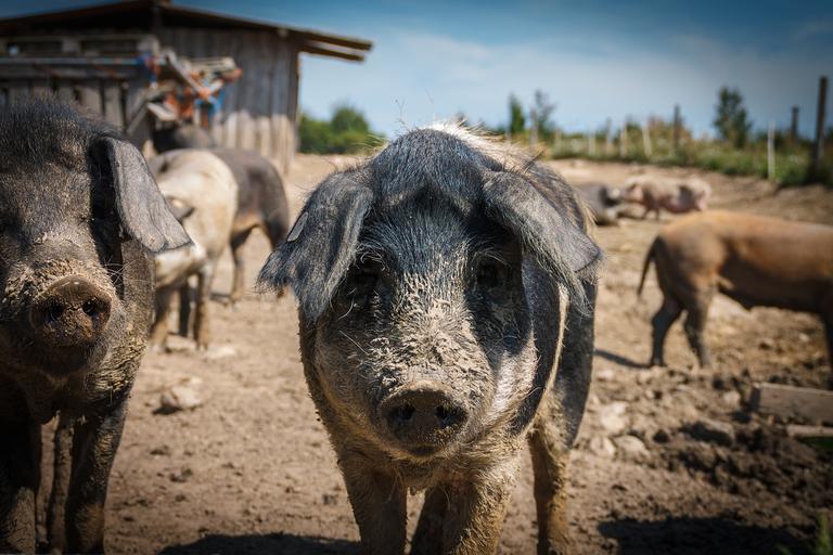 2.500 de porci afectati de pesta porcina africana au fost arşi la Codlea; Porcii din toate gospodăriile particulare vor fi controlaţi; stiri agricole