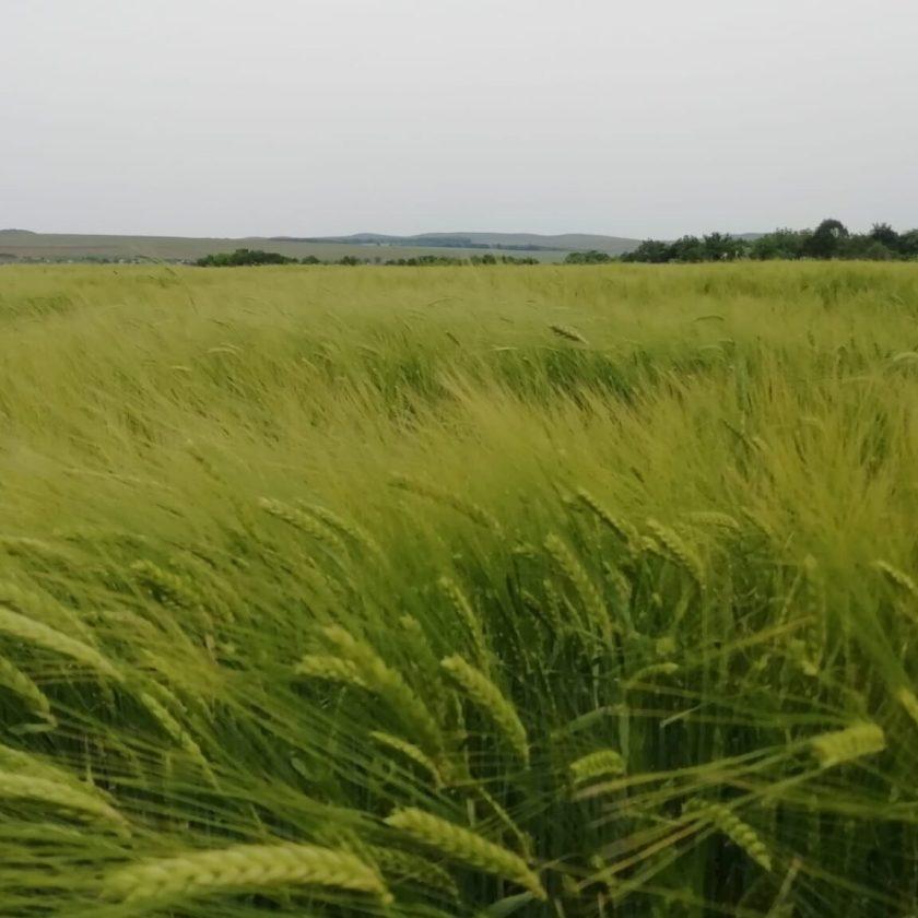 Producţia de grâu din acest an se anunţă a fi foarte bună; Acum preţul grâului este în jur de 900 de lei/tonă adus la moară; Stiri agricole