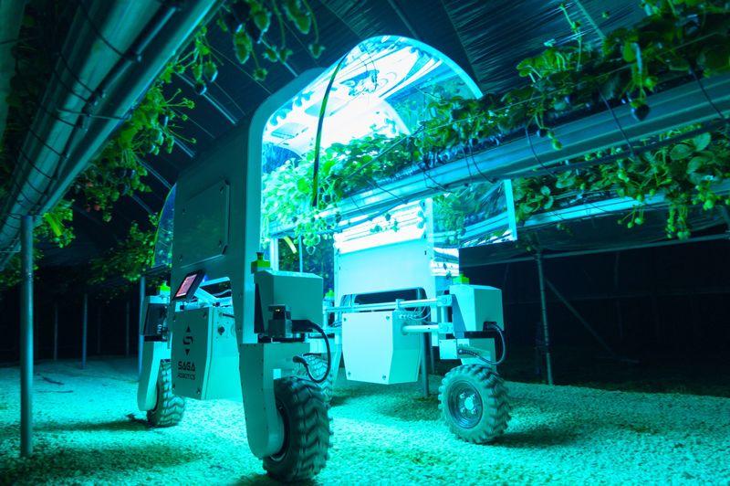 Roboţi testaţi la culesul fructelor si legumelor după ce pandemia de coronavirus şi Brexitul au dus la scăderea numărului de muncitori; stiri agricole