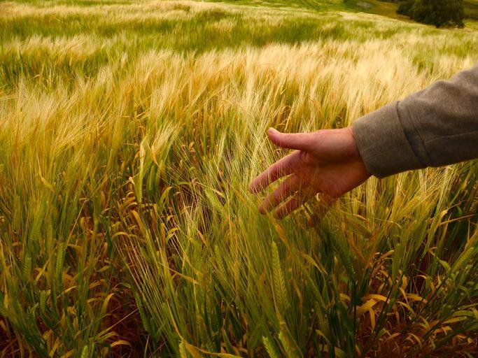 Bulgaria a recoltat 4,626 milioane tone de grâu; 10.718 de hectare au fost compromise total din cauza secetei, îngheţului şi grindinei; stiri agricole
