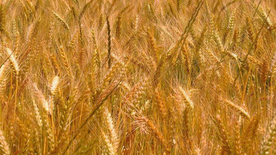 Cu cat s-a tranzactionat graul saptamana trecuta? Raportul USDA a revizuit creșterea producției mondiale de grâu; stiri agricole, preturi graur