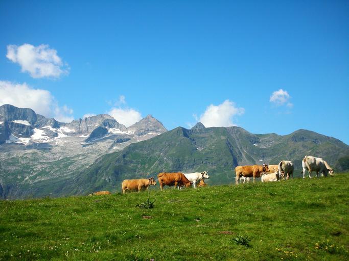 de la 5 bovine până la maxim 70 de bovine sau pentru primele 70 de bovine