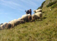 Subvenție noua pentru oi pentru efectivele de până la 500 de capete pe fermă; vom merge pe 500 de oi cu alocare de 10 lei pe cap de oaie; stiri agricole