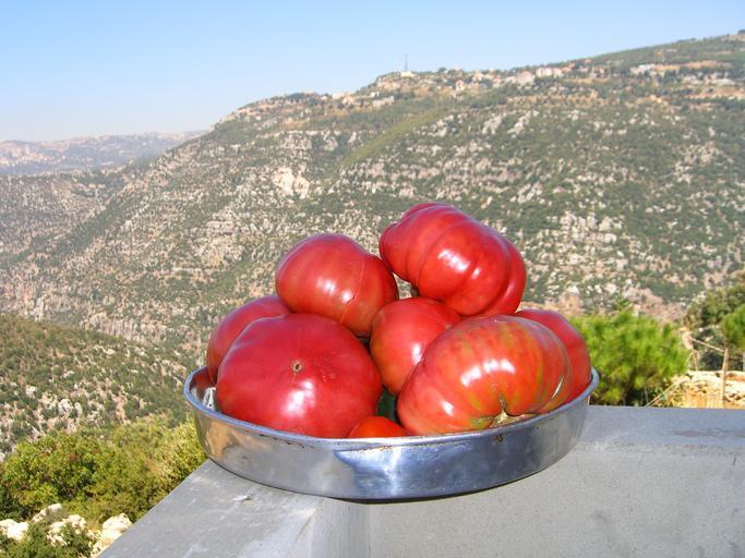 Tomata ciclul 2 fentată si maltratată; exact așa cum am spus și ne-am angajat; Adevărul este că Tomata dispare începând de anul viitor! stiri agricole