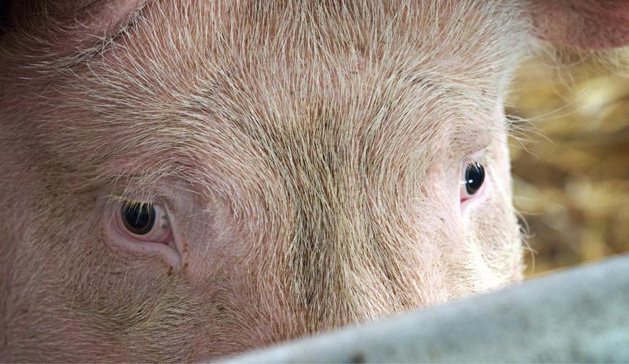 Sprijiniți creșterea porcinelor și a păsărilor! Asociația Producătorilor de Carne de Porc din România; Uniunea Crescătorilor de Păsări din România