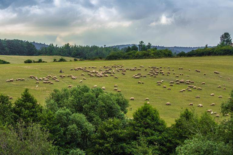 Creşterea oilor un domeniu vital al economiei româneşti; Screpia şi lipsa investiţiilor marile probleme pentru crescătorii de oi; stiri agricole