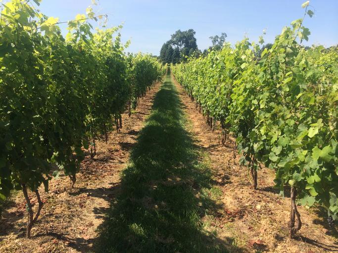 Depunere cereri de plată pentru sprijinul privind asigurarea recoltei de struguri pentru vin în perioada 2019-2020; stiri agricole; APIA