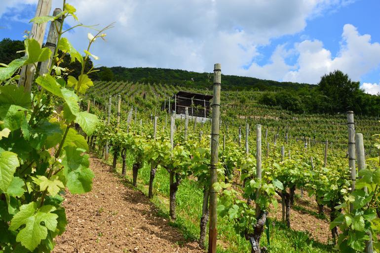Viticultorii francezi din Languedoc se adaptează deja la schimbările climatice; recoltarea strugurilor a a fost devansata cu trei săptămâni; stiri agricole