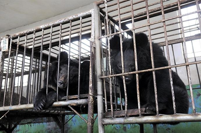 """""""Fermele de urși"""" - o barbarie prezentă in China si Vietnam; peste 10.000 de urși sunt în fermele de urși din China și încă 1.000 în Vietnam; stiri agricole"""