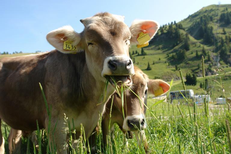 Instituirea unei scheme de ajutor de stat în sectorul creşterii animalelor; Suma alocată ajutorului de stat este de maximum 65.000 mii lei; stiri agricole