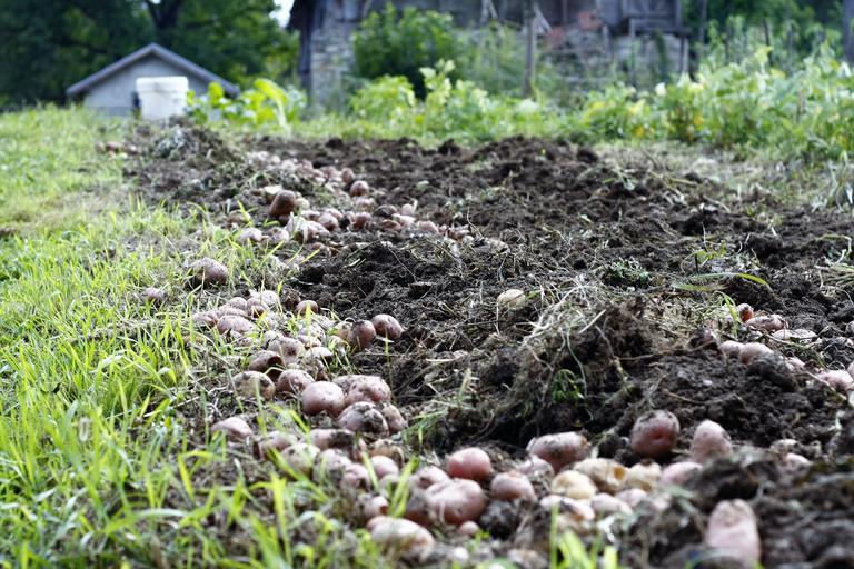 Producătorii de cartofi încurajați să acceseze măsurile de dezvoltare rurală care vizează competitivitatea; stiri agricole