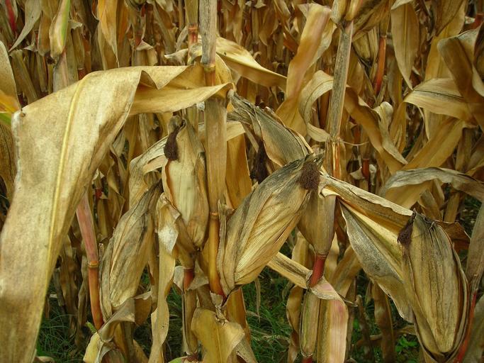 Raport piata cerealelor–Porumb–18 septembrie; Romania; USDA; Sudul României, regiuni întinse din Moldova și Dobrogea sunt efectiv pârjolite; stiri agricole