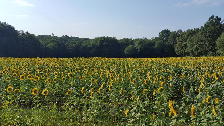 Franța deblochează 100 de milioane de euro pentru a-și dezvolta producția de rapiță, soia, floarea-soarelui, fasole și leguminoase; stiri agricole