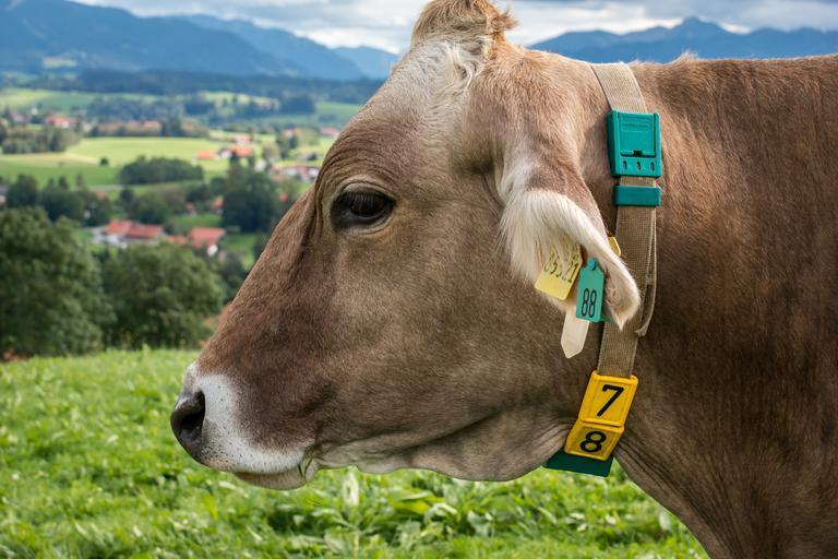 Vreau sa cumpăr o vacă din Germania! Cum fac? Despre modul in care se pot achizitiona juninci sau vaci cu lapte din Germania; stiri agricole