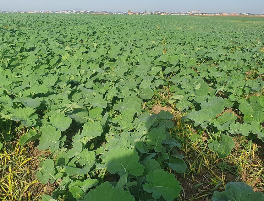 Producția de semințe oleaginoase va fi puternic sprijinită în noua PAC! Producția de rapiță a scăzut sub mediile istorice; stiri agricole