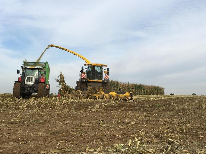 Piața porumbului – nivel național, regional, global; Nivelul de recoltă al României rămâne la peste 10 milioane de tone. stiri agricole