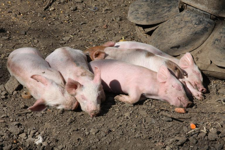 Actualizarea situației privind evoluția Pestei Porcine Africane; În intervalul 25.02.2021 – 04.03.2021 au fost înregistrate 24 de focare noi PPA; stiri agro