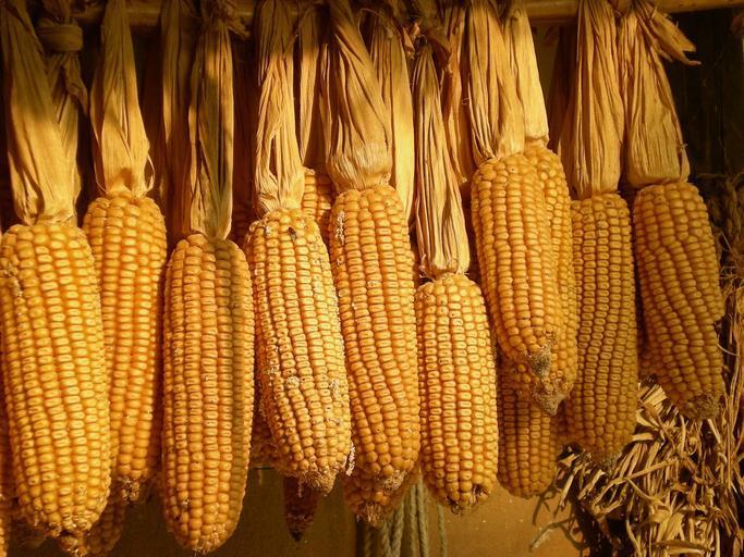 Raport piața cerealelor – Porumb – 11 noiembrie; Piața porumbului – nivel național, regional, global; EVOLUȚIE PREȚ EURONEXT; stiri agricole