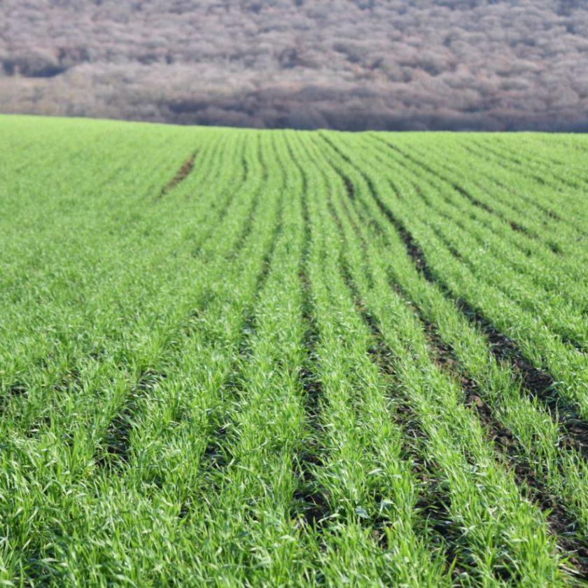 România exportă 60.000 de tone de grâu în Iordania; Grâul a fost cumpărat la un preţ de 269,20 de dolari per tonă C&F; stiri agricole