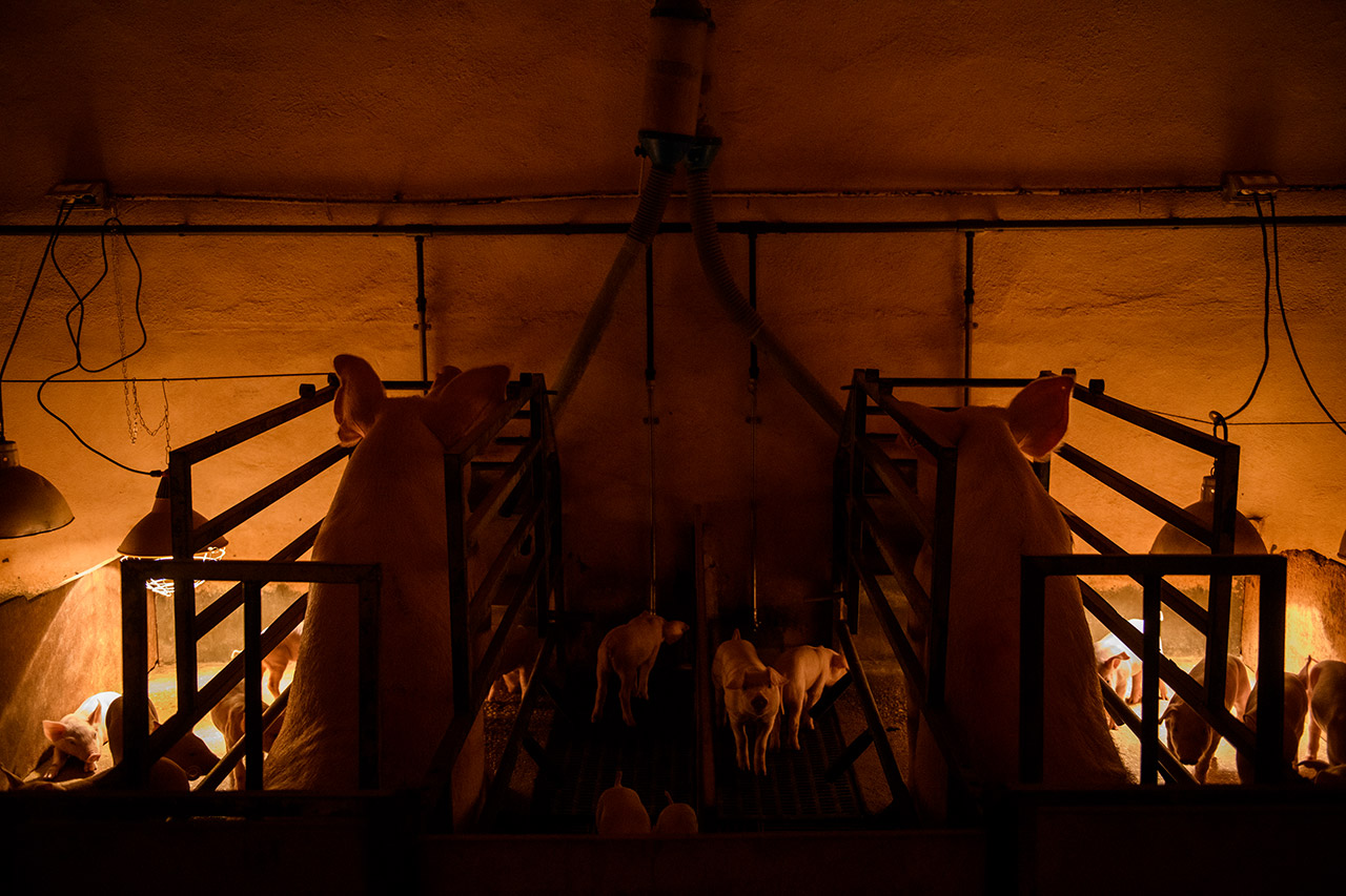 Dreptul de a crește PORCI intre putere și propagandă; Bunăstarea animalelor - realitate sau propagandă?Spania; stiri agricole
