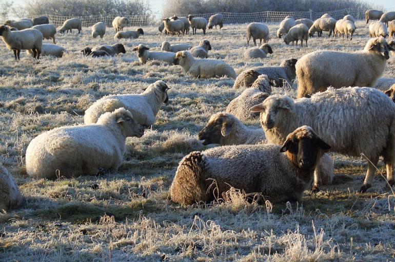 Cum se va acorda sprijinul cuplat zootehnic pentru ovine/caprine? berbecii cu certificate de origine nu mai sunt o condiție obligatorie; stiri agricole
