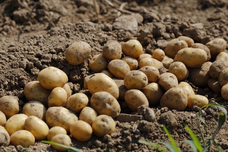 Cartofii de România ar putea ajunge o amintire; am plecat de la 275.000 de ha, am ajuns la 174.000, dar înregistrate doar 27.000 la APIA; stiri agricole